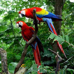 Aves de Osa